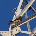 写真: P8310040チョウゲンボウ雌(トリミング)