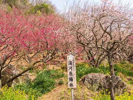 2013/3/10 湯河原梅林 その6