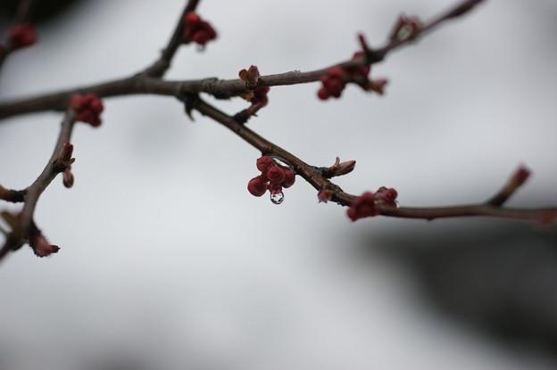 木瓜の蕾 雪の中で