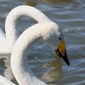 首の長い白鳥