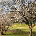 写真: サクランボの木