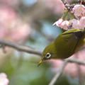 Photos: 彼岸桜とメジロ