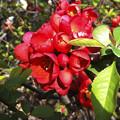写真: ボケの花