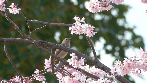桜とジョウビ