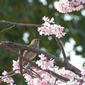 写真: 桜とジョウビ