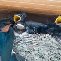 写真: 満足そうなツバメの親鳥