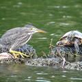 Photos: ササゴイ幼鳥
