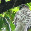 写真: ツミ幼鳥