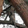 写真: 松とオオタカ