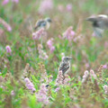 Photos: ノビタキ幼鳥