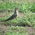 写真: ツバメチドリ