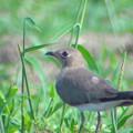 写真: ツバメチドリ幼鳥
