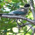 写真: オナガ幼鳥