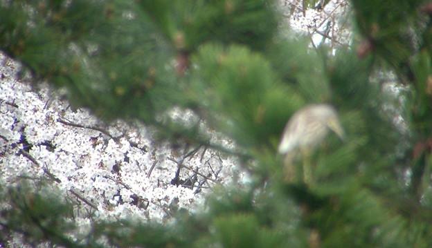 桜とアカガシラサギ1