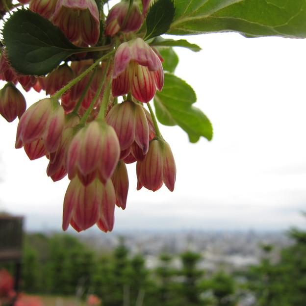 サラサドウダンが咲いています