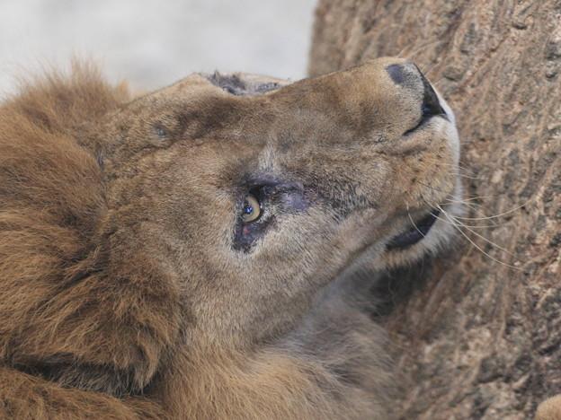 夜のライオン