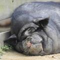 Photos: 気持ち良さそうな寝顔のミニブタ