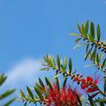 Photos: 青い空紅い花