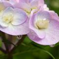 紫陽花のしずく