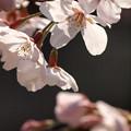 Photos: 春告げ彩