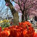 桜とチューリップ_13_04_DSC_0186