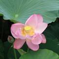 Photos: 琵琶湖の蓮