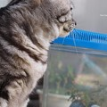 Photos: ところでそれ、夏毛なの?もふもふ。(ヤマトシジミ飼育 鉢ごとケースへ)