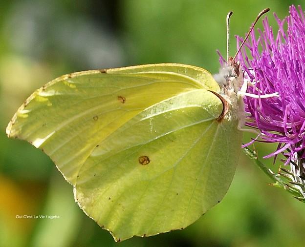 Photos: ヤマキチョウ。翅脈がきれい。(信州某所にて)