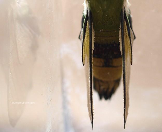 鱗粉と言うより棘か顆粒。(オオスカシバ飼育 鱗粉)