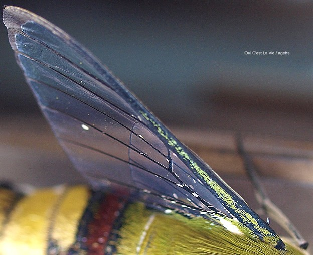 Photos: 羽化後。まだ鱗粉の残る翅。(オオスカシバ飼育)