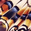 フィルムでも意外と撮れてたキアゲハ鱗粉。(at信州)