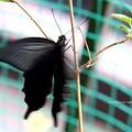 Photos: よいしょよいしょ。翅は有るけどとりあえず登る。(黒揚羽 飼育)