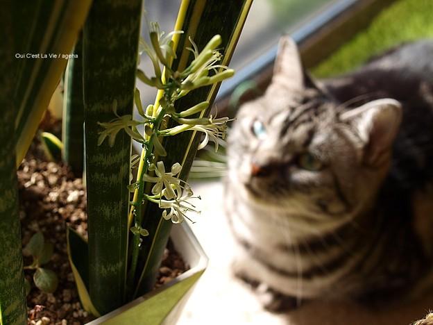 猫愛でる。(サイセベリア開花)