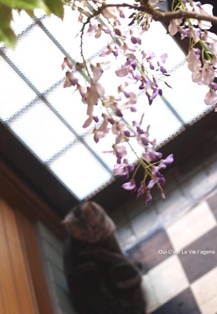 猫花見。(一才藤盆栽)