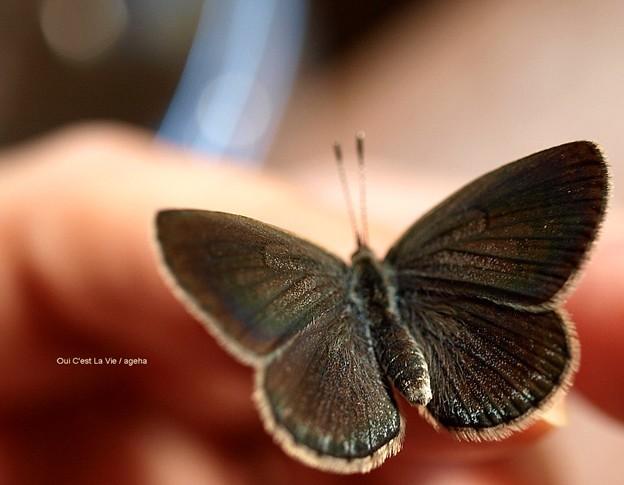 日に当てると翅を開いてくれます。(ヤマトシジミ飼育)