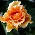 写真: ポルカも咲いたよ。(Polka 1991 フランス)