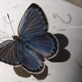 瑠璃色の飛行体。(ヤマトシジミ飼育)