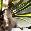写真: 猫のしっぽはサンスベリア。