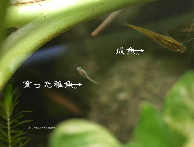 メダカ成魚と約3ヶ月の稚魚混浴。(メダカ飼育)