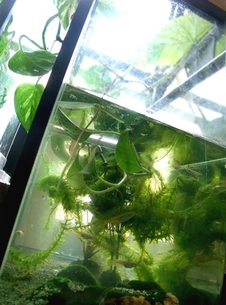 メダカ水槽はジャングル化。(メダカ飼育)