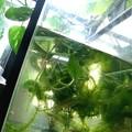 Photos: メダカ水槽はジャングル化。(メダカ飼育)