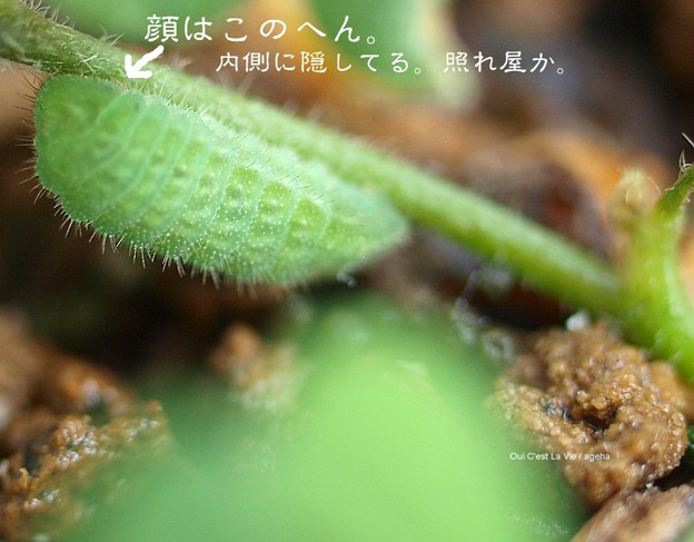シジミ終齢幼虫。(ヤマトシジミ飼育)
