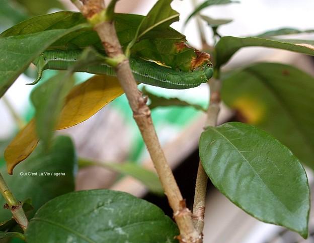 寒空に早く蛹になりたいガガ。(オオスカシバ終齢幼虫)