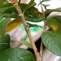 Photos: 寒空に早く蛹になりたいガガ。(オオスカシバ終齢幼虫)