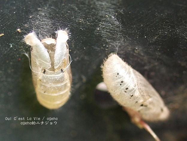 Photos: お疲れ様。(ヤマトシジミ飼育 羽化)