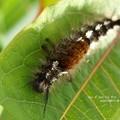マメドクガの幼虫。(たぶん)at信州