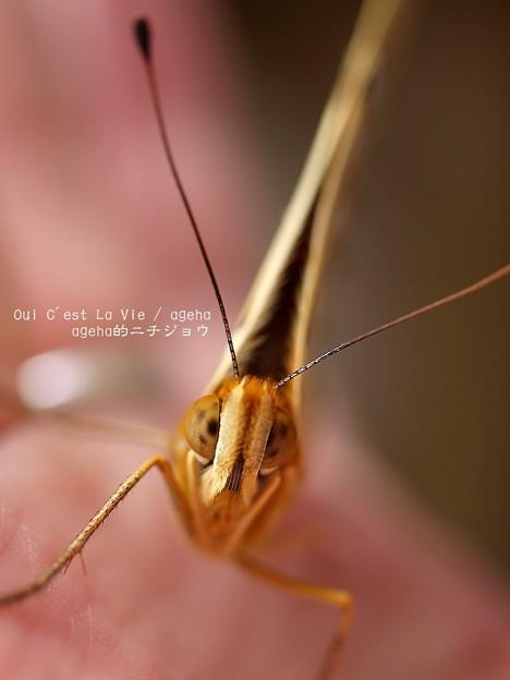 タテハチョウ科の蝶は(ツマグロヒョウモン飼育)