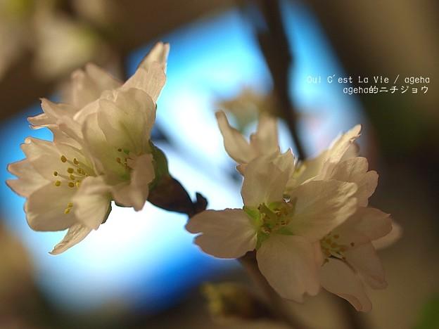 恒例の啓翁桜。(2014元旦)