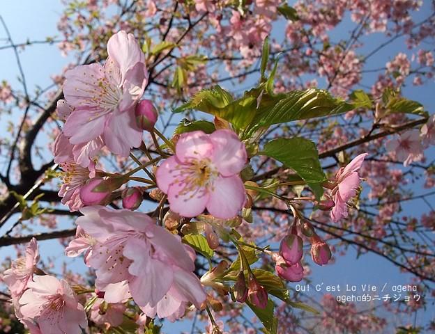 上野は河津桜が咲き始め。(2014年3月16日)