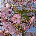 Photos: 上野は河津桜が咲き始め。(2014年3月16日)